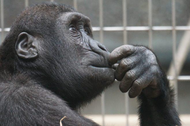 Ape pondering